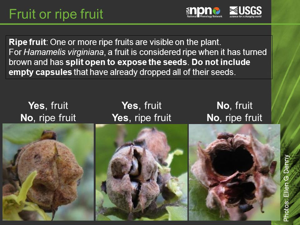 No, fruit No, ripe fruit Fruit or ripe fruit Yes, fruit Yes, ripe fruit Photos: Ellen G Denny Ripe fruit: One or more ripe fruits are visible on the plant.