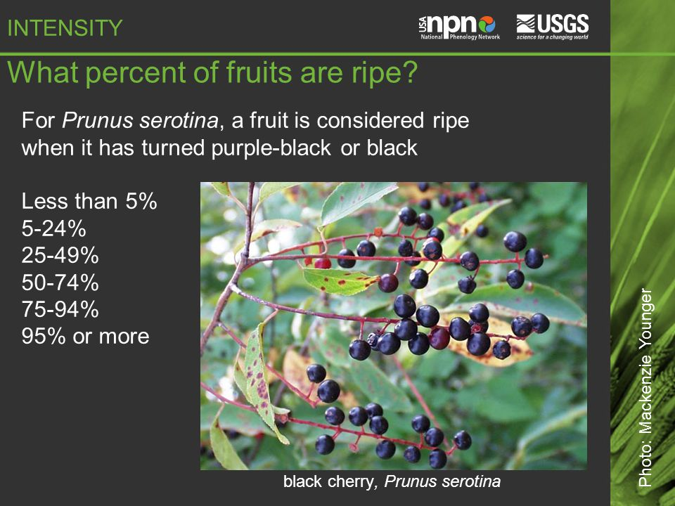 What percent of fruits are ripe.