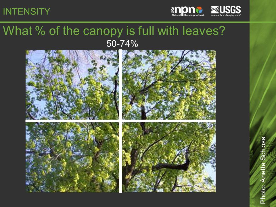 50-74% What % of the canopy is full with leaves Photo: Anette Schloss INTENSITY