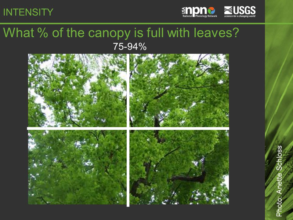 75-94% What % of the canopy is full with leaves Photo: Anette Schloss INTENSITY
