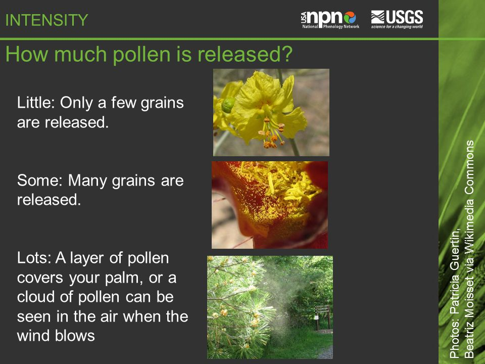 How much pollen is released. Little: Only a few grains are released.