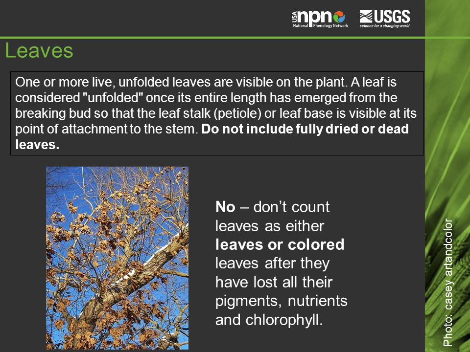 Leaves No – don't count leaves as either leaves or colored leaves after they have lost all their pigments, nutrients and chlorophyll.