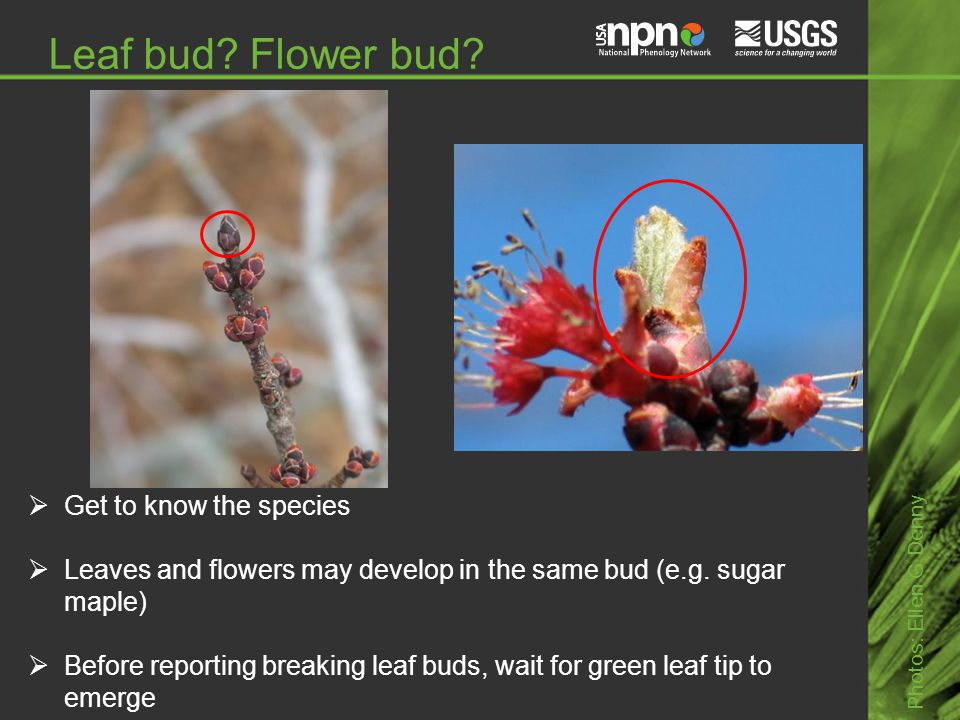 Leaf bud. Flower bud.