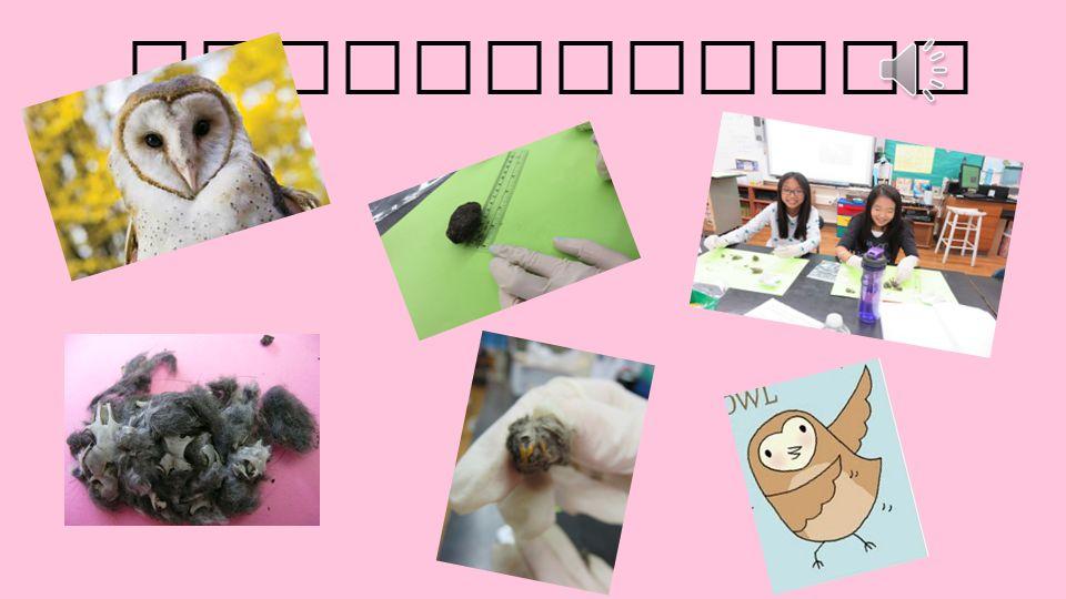 By Ellen Lee Period 6 Code 8 Owl Pellet Project