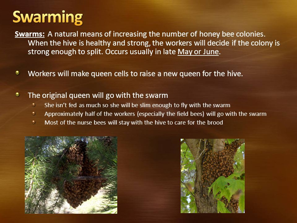 Swarms: A natural means of increasing the number of honey bee colonies. When the hive is healthy and strong, the workers will decide if the colony is