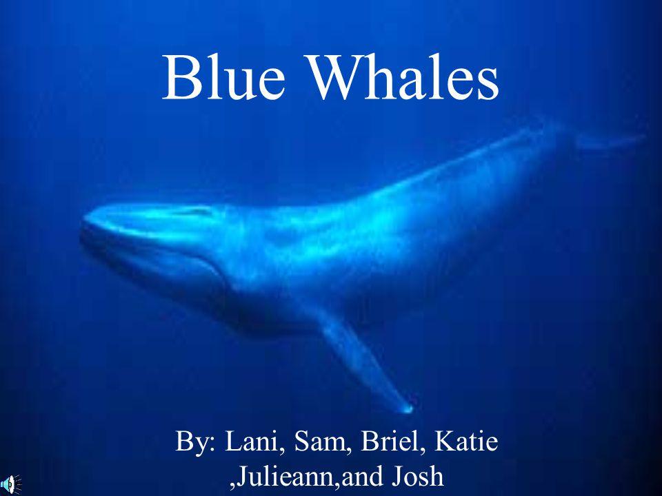 Blue Whales By: Lani, Sam, Briel, Katie,Julieann,and Josh