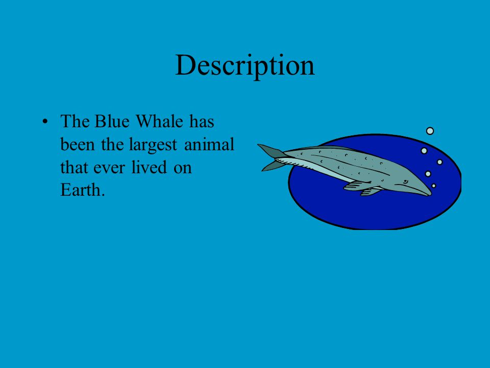 Description The Blue Whale has been the largest animal that ever lived on Earth.