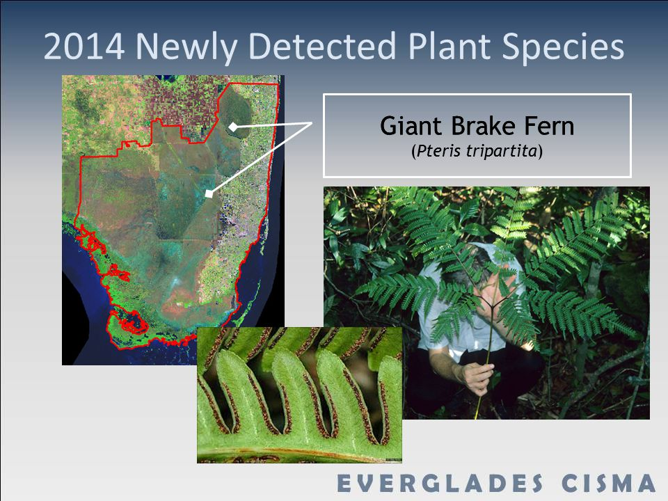 2014 Newly Detected Plant Species Giant Brake Fern (Pteris tripartita) Giant Brake Fern (Pteris tripartita)