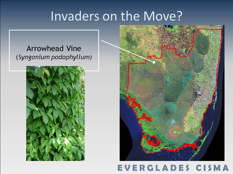 Invaders on the Move? Arrowhead Vine (Syngonium podophyllum)