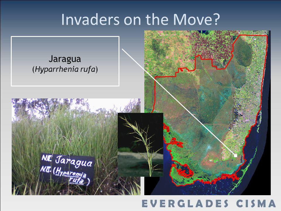 Invaders on the Move? Jaragua (Hyparrhenia rufa)