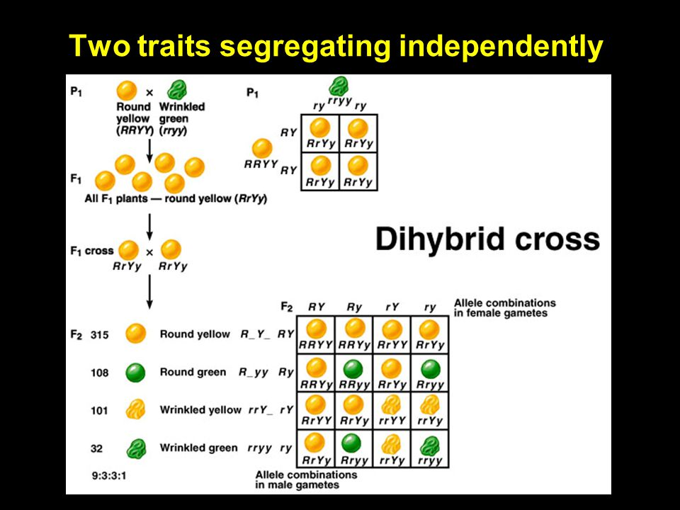 Copyright © The McGraw-Hill Companies, Inc. Permission required for reproduction or display. 4-31 Independent assortment of two traits In a dihybrid c