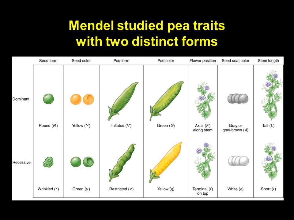 Copyright © The McGraw-Hill Companies, Inc. Permission required for reproduction or display. 4-3 Gregor Mendel: The father of modern genetics Combined