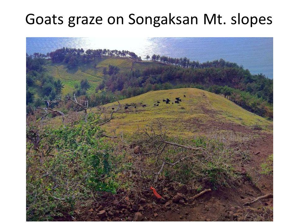 Goats graze on Songaksan Mt. slopes