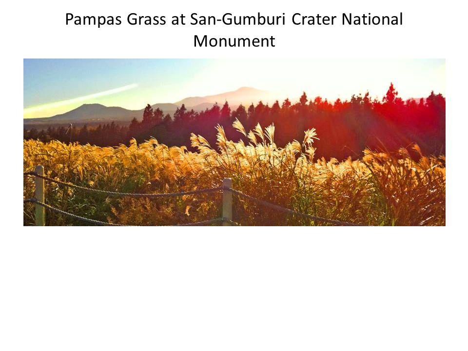 Pampas Grass at San-Gumburi Crater National Monument
