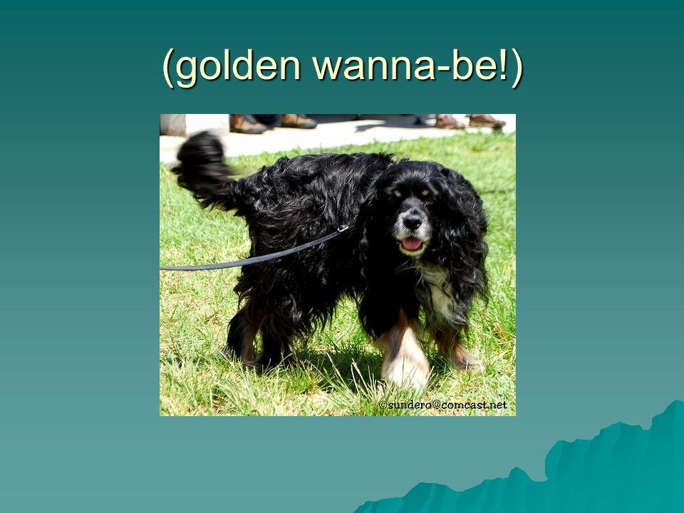 (golden wanna-be!)