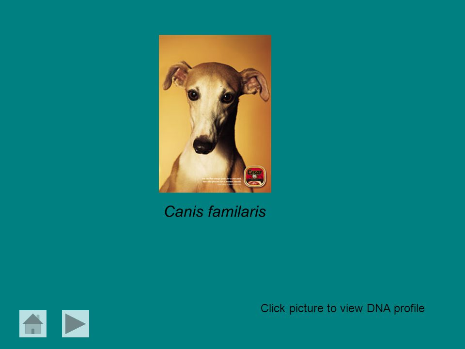 Canis familaris Click picture to view DNA profile