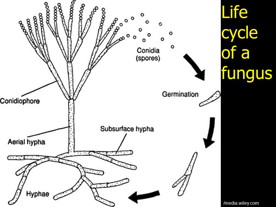 Life cycle of a fungus /media.wiley.com