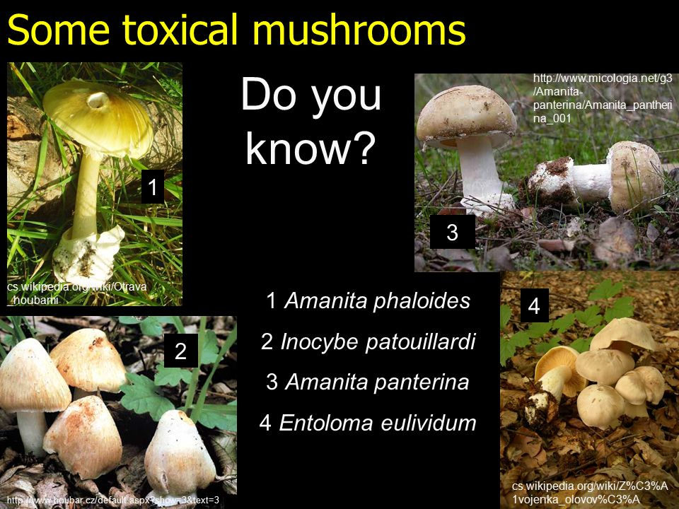 Some toxical mushrooms 1 Amanita phaloides 2 Inocybe patouillardi 3 Amanita panterina 4 Entoloma eulividum Do you know.