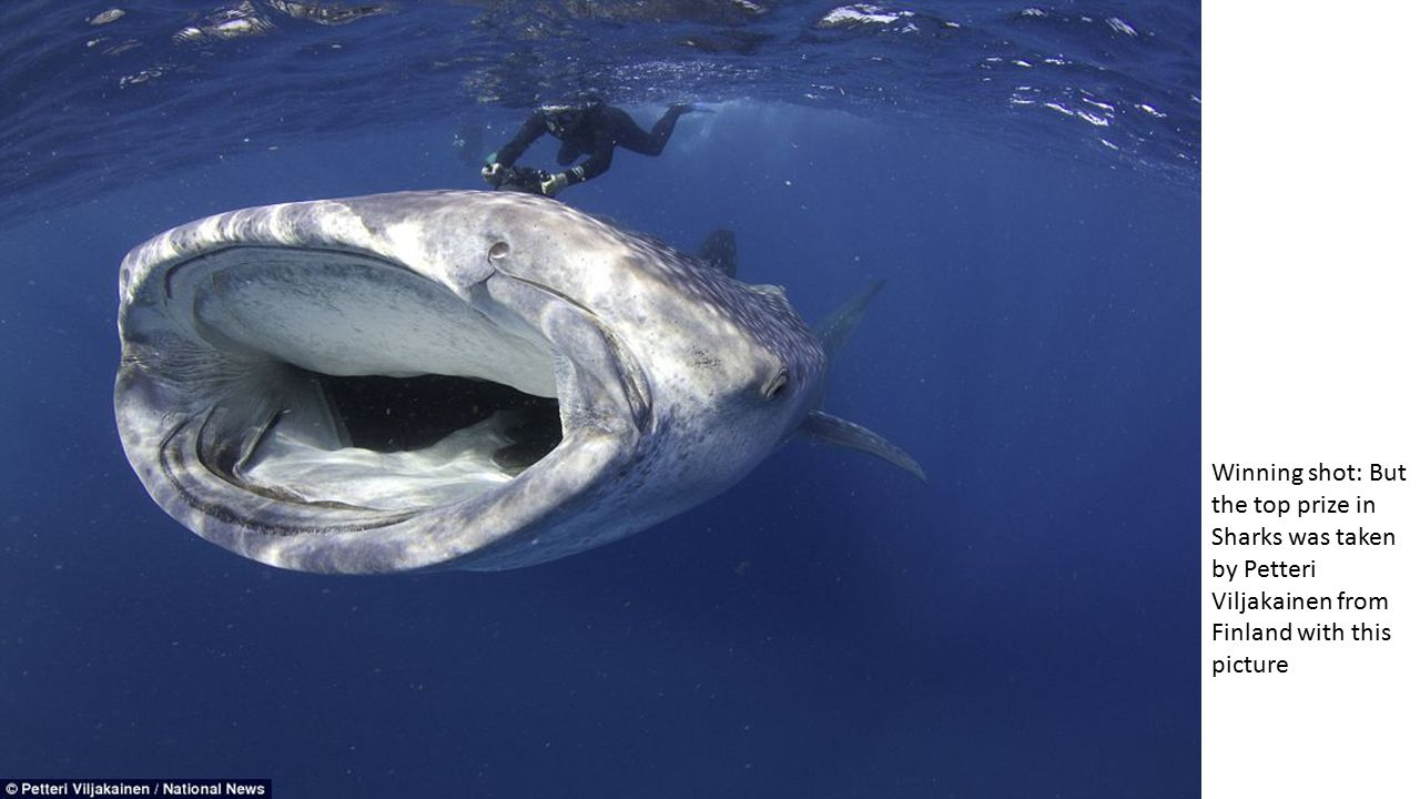 Winning shot: But the top prize in Sharks was taken by Petteri Viljakainen from Finland with this picture