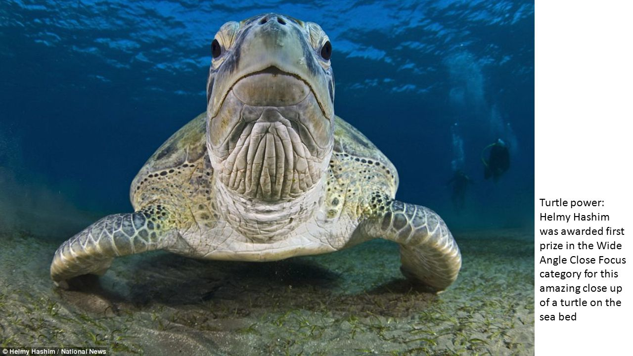 Turtle power: Helmy Hashim was awarded first prize in the Wide Angle Close Focus category for this amazing close up of a turtle on the sea bed