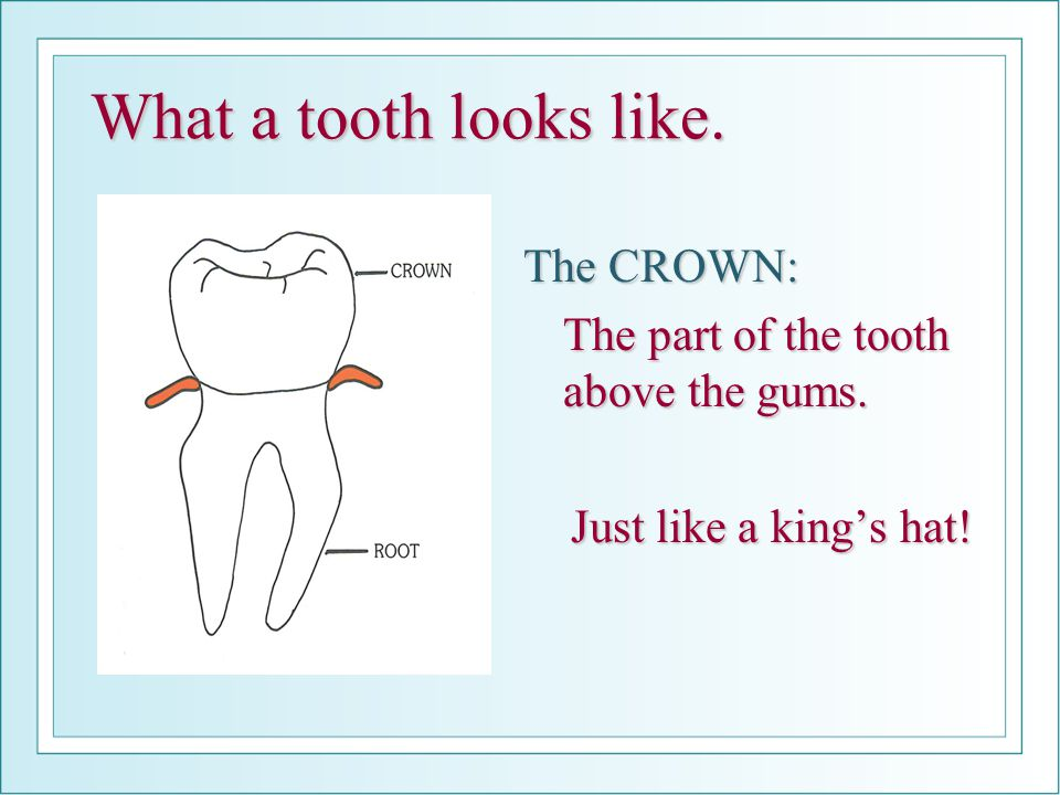 What a tooth looks like.The CROWN: The part of the tooth above the gums.