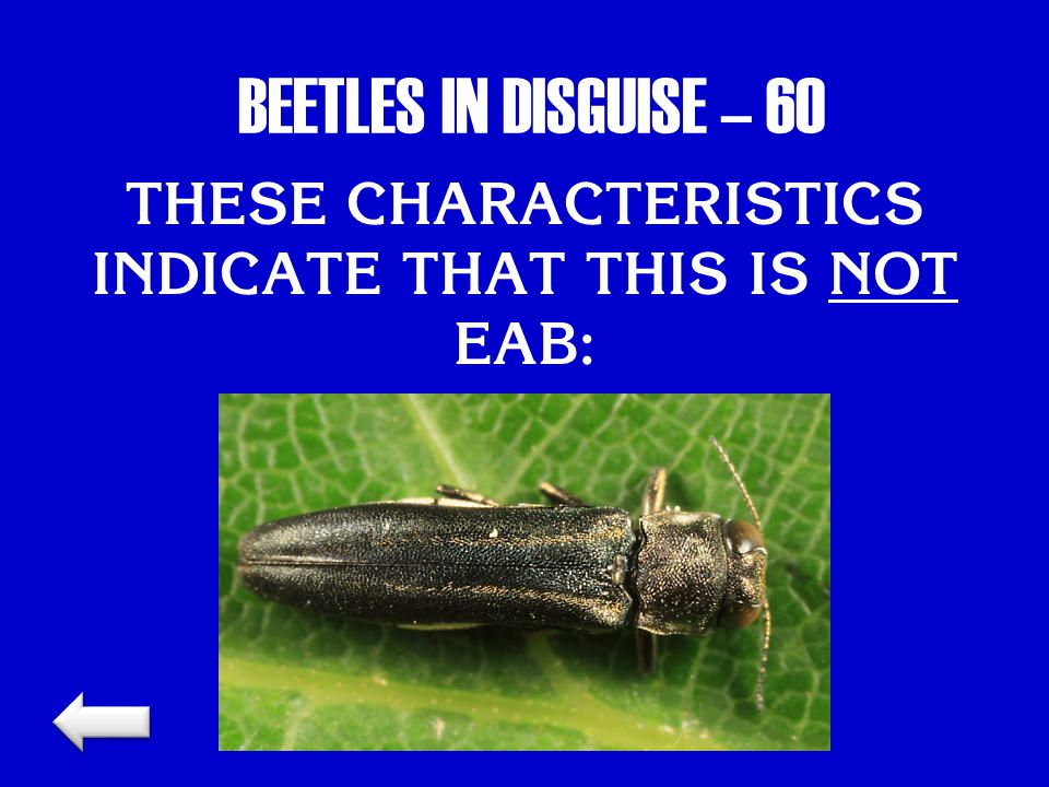 BEETLES IN DISGUISE – 60 THESE CHARACTERISTICS INDICATE THAT THIS IS NOT EAB:
