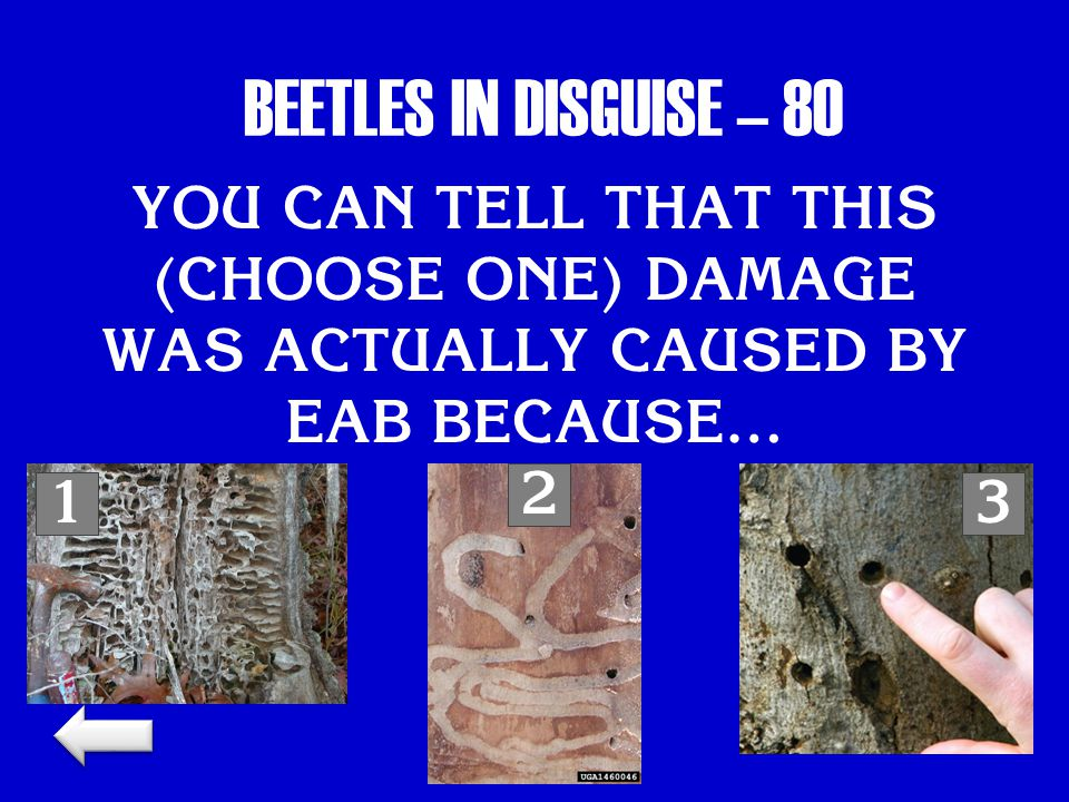 BEETLES IN DISGUISE – 80 YOU CAN TELL THAT THIS (CHOOSE ONE) DAMAGE WAS ACTUALLY CAUSED BY EAB BECAUSE… 13 2
