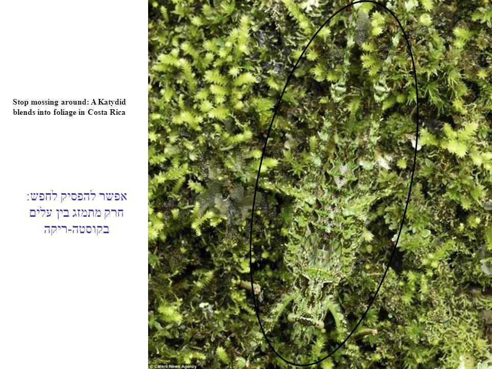 Stop mossing around: A Katydid blends into foliage in Costa Rica אפשר להפסיק לחפש: חרק מתמזג בין עלים בקוסטה-ריקה