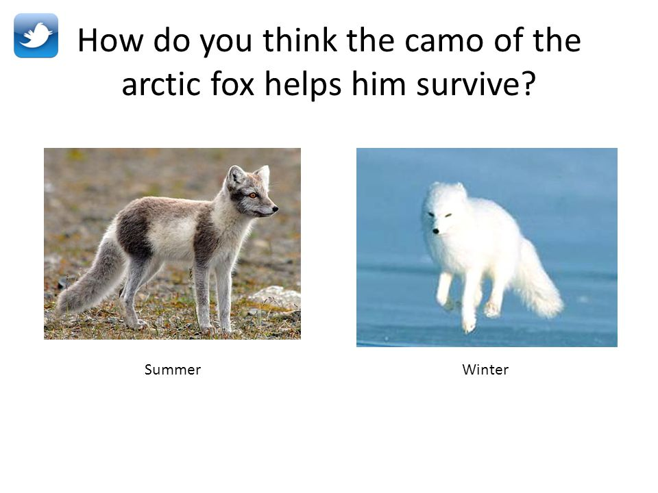 How do you think the camo of the arctic fox helps him survive? SummerWinter