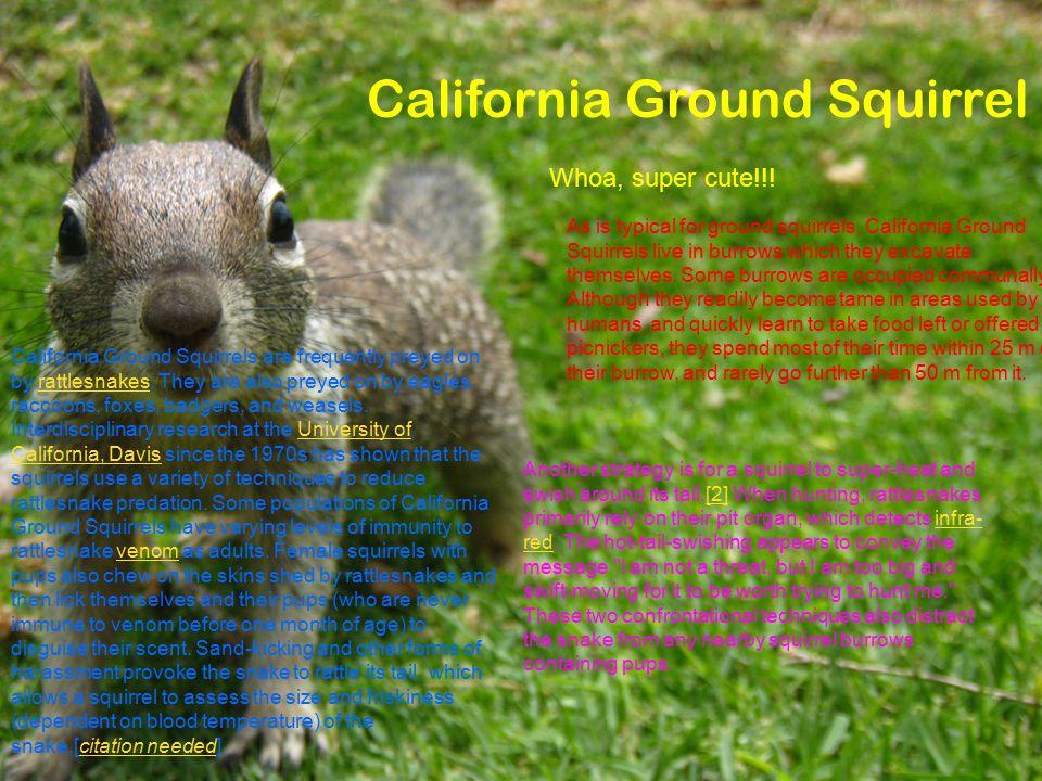 California Ground Squirrel Whoa, super cute!!.