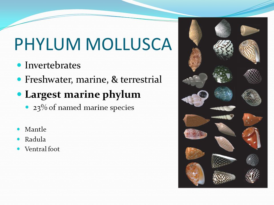 PHYLUM MOLLUSCA Invertebrates Freshwater, marine, & terrestrial Largest marine phylum 23% of named marine species Mantle Radula Ventral foot