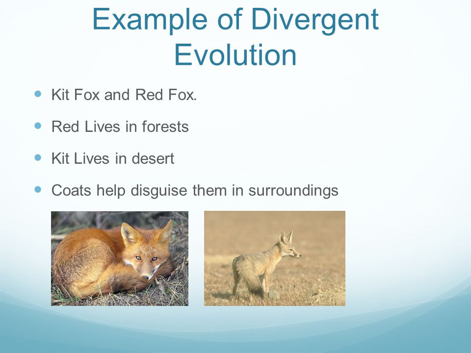 Example of Divergent Evolution Kit Fox and Red Fox.