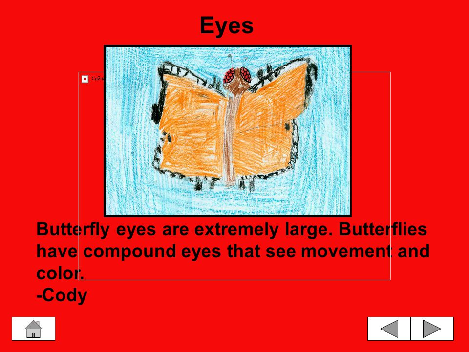 Butterfly Body Parts WingsMouth EyesLegs and FeetBody
