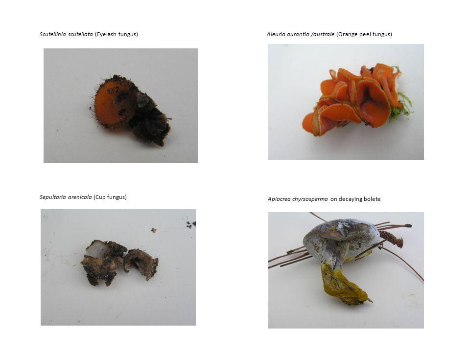 Apiocrea chyrsosperma on decaying bolete Sepultaria arenicola (Cup fungus) Scutellinia scutellata (Eyelash fungus)Aleuria aurantia /australe (Orange peel fungus)