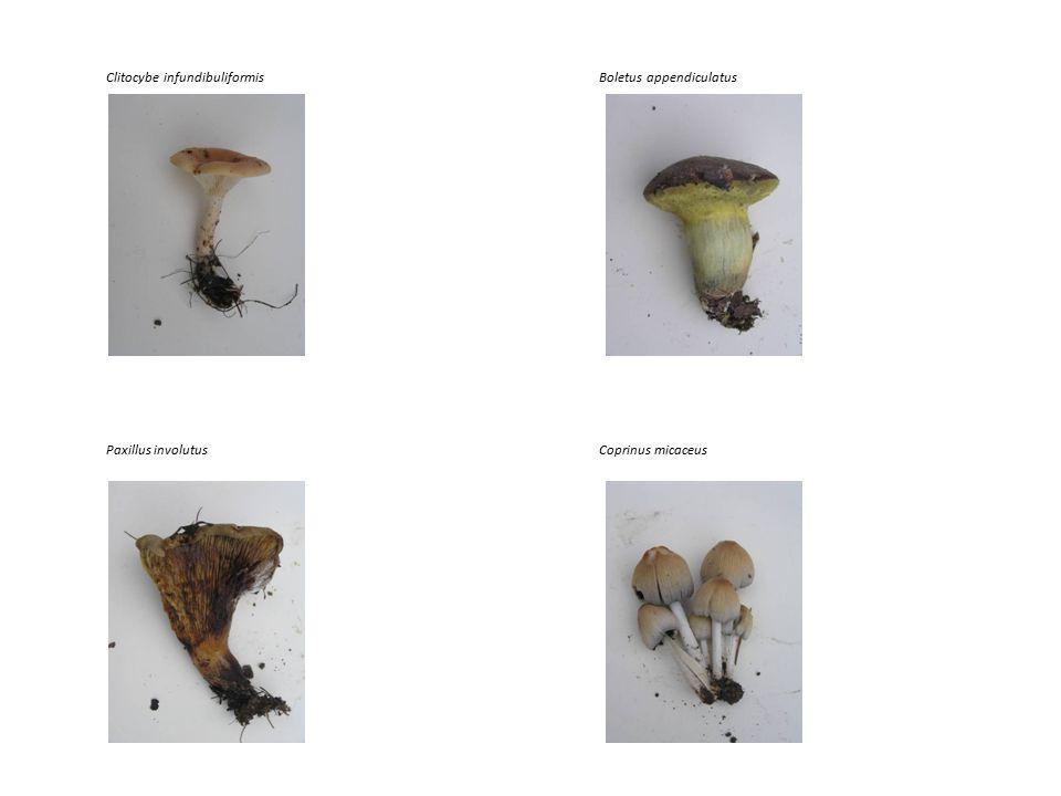 Clitocybe infundibuliformisBoletus appendiculatus Paxillus involutusCoprinus micaceus