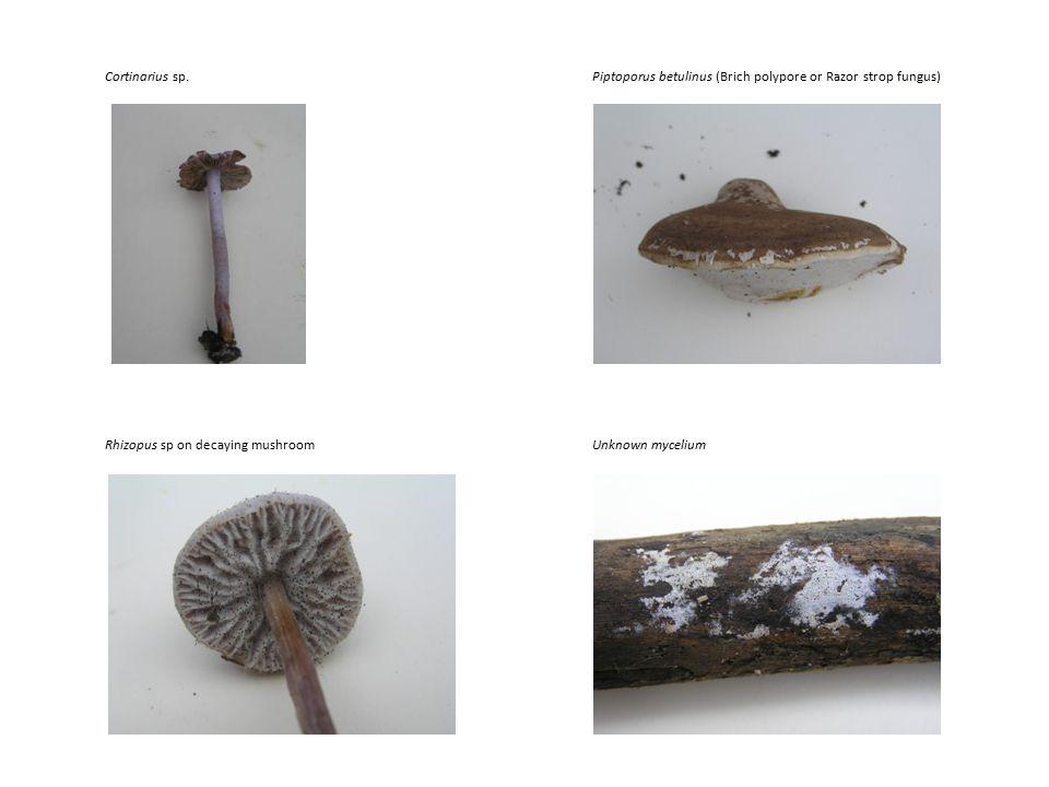 Rhizopus sp on decaying mushroom Cortinarius sp.