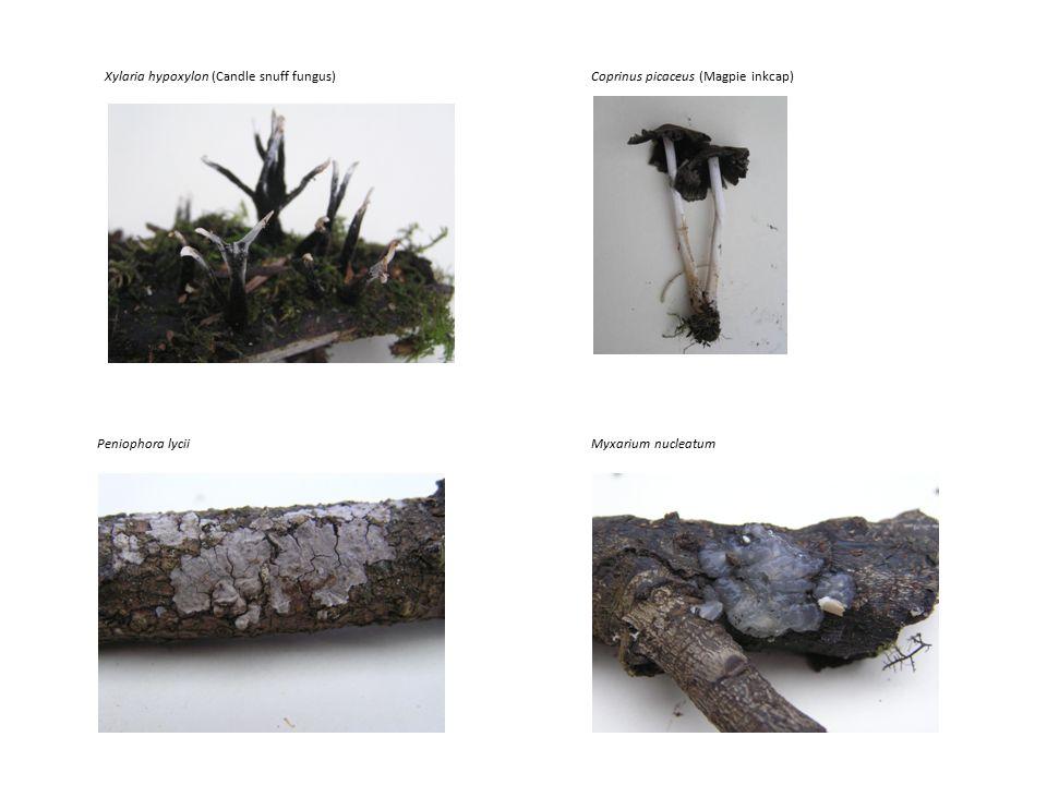 Xylaria hypoxylon (Candle snuff fungus) Myxarium nucleatum Coprinus picaceus (Magpie inkcap) Peniophora lycii