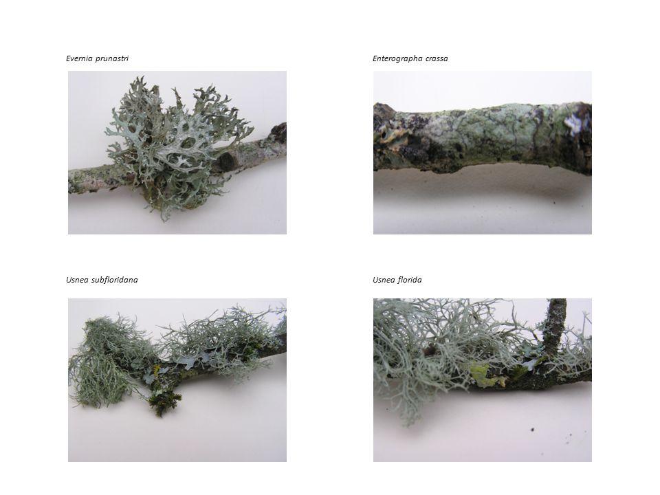 Usnea subfloridanaUsnea florida Evernia prunastriEnterographa crassa
