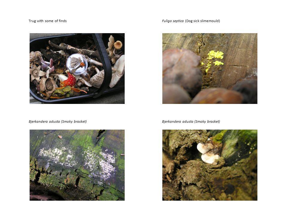 Trug with some of findsFuligo septica (Dog sick slimemould) Bjerkandera adusta (Smoky bracket)