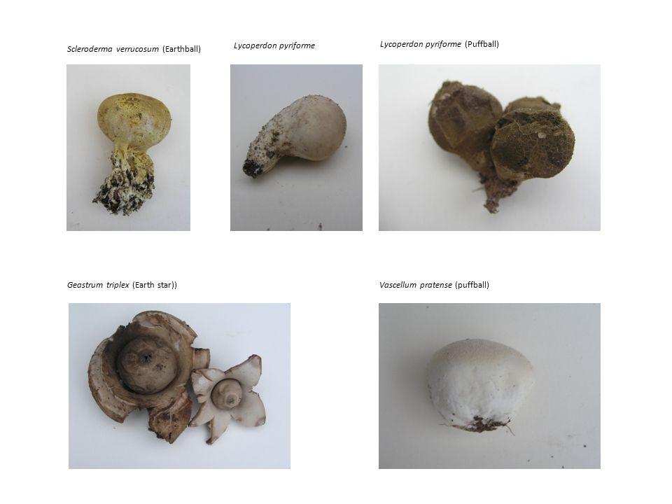 Vascellum pratense (puffball) Scleroderma verrucosum (Earthball) Lycoperdon pyriforme (Puffball) Geastrum triplex (Earth star)) Lycoperdon pyriforme
