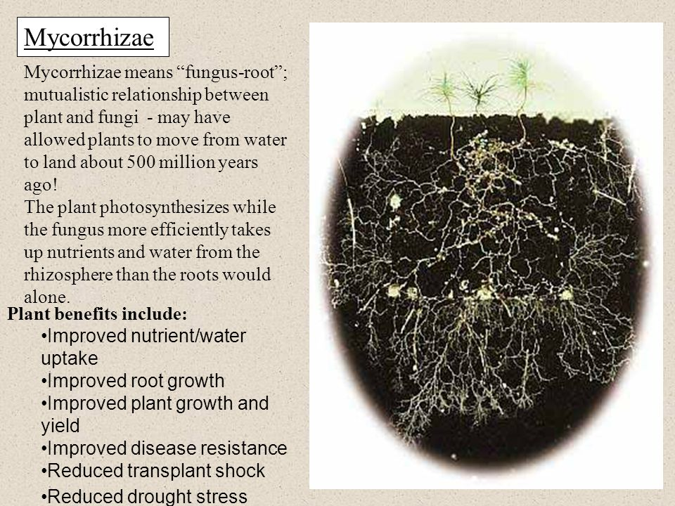 Mycorrhizae Mycorrhizae means fungus-root ; mutualistic relationship between plant and fungi - may have allowed plants to move from water to land about 500 million years ago.