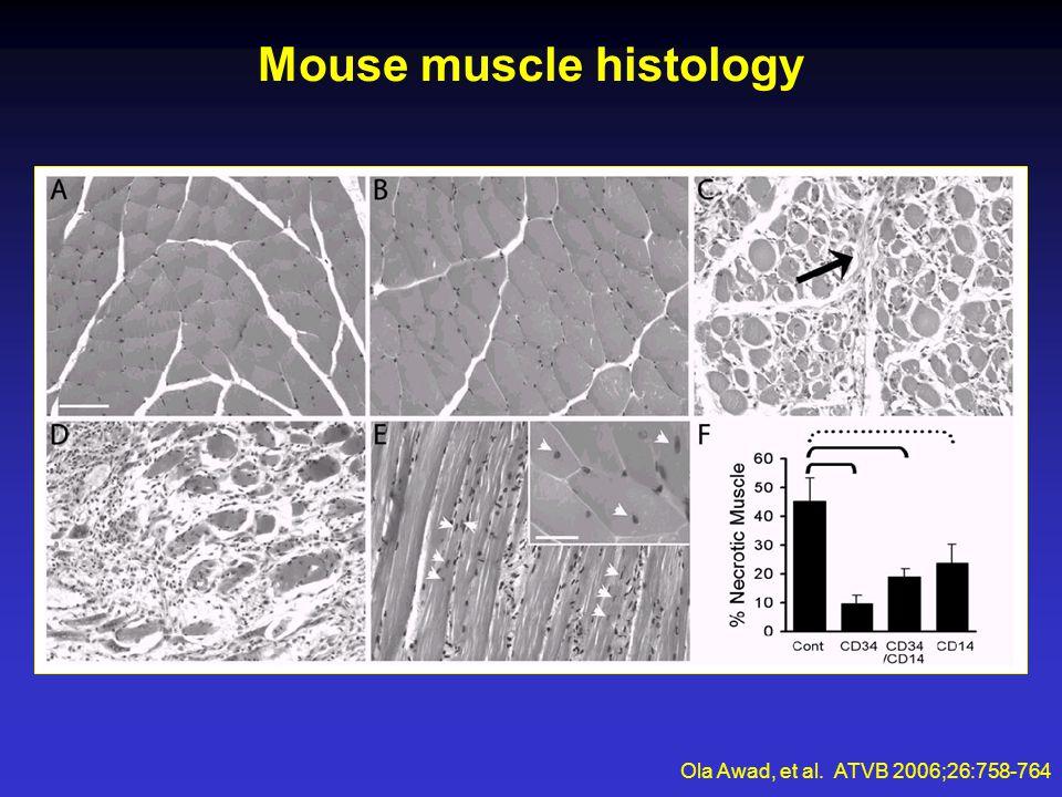 Mouse muscle histology Ola Awad, et al. ATVB 2006;26:758-764