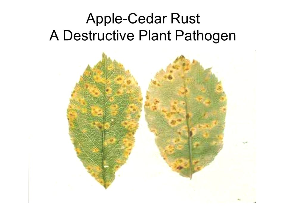 Apple-Cedar Rust A Destructive Plant Pathogen