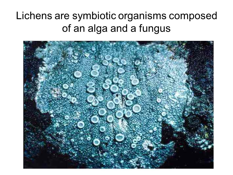 Lichens are symbiotic organisms composed of an alga and a fungus
