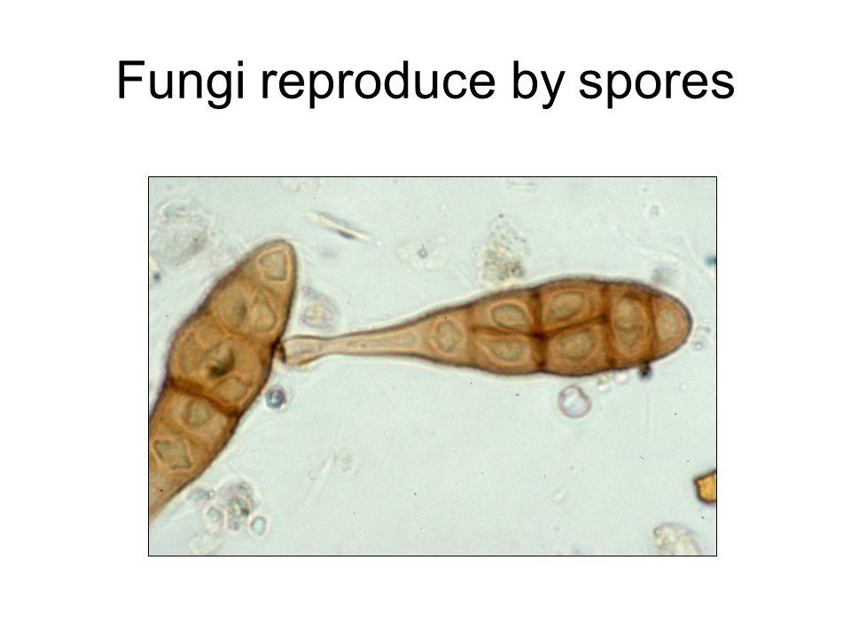 Fungi reproduce by spores
