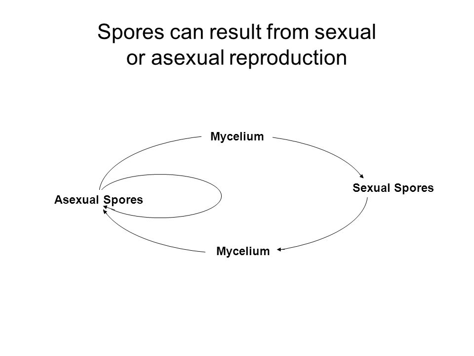 Spores can result from sexual or asexual reproduction Mycelium Sexual Spores Mycelium Asexual Spores