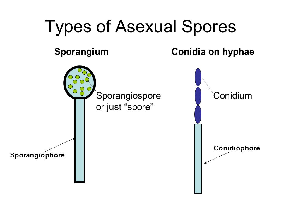 SporangiumConidia on hyphae Sporangiospore or just spore Conidium Sporangiophore Conidiophore Types of Asexual Spores