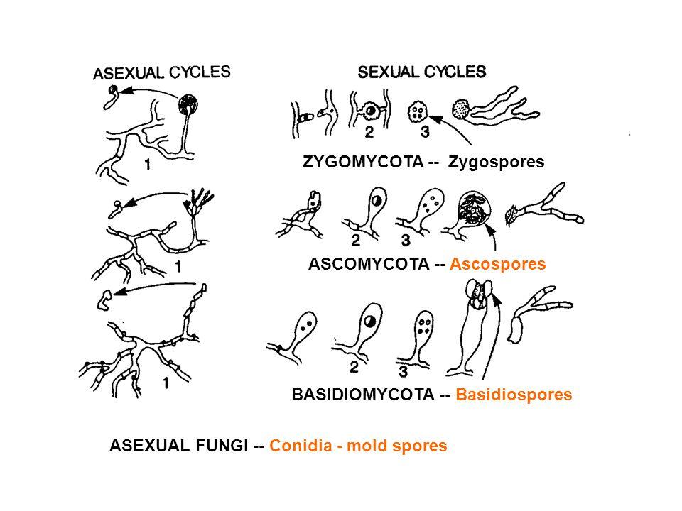 ZYGOMYCOTA -- Zygospores ASCOMYCOTA -- Ascospores BASIDIOMYCOTA -- Basidiospores ASEXUAL FUNGI -- Conidia - mold spores