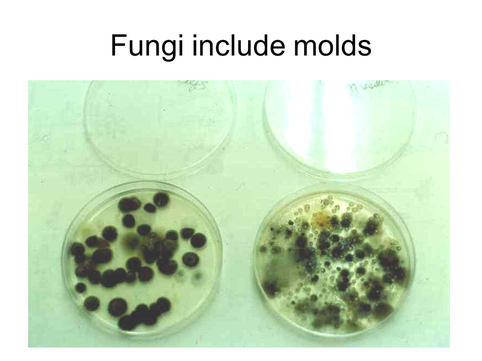 Fungi include molds
