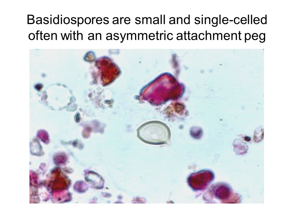 Basidiospores are small and single-celled often with an asymmetric attachment peg